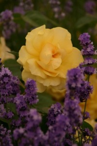 Yellow Rose and Lavender