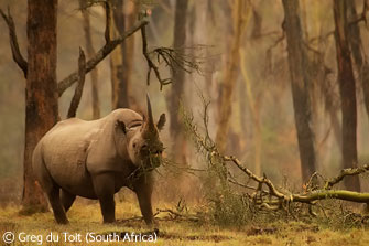 Golden forest rhino