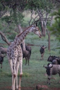Giraffe and wildebeest